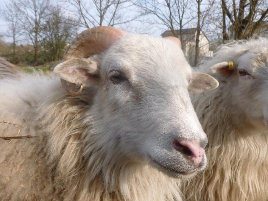 Naturwacht berlin e v unsere schafe for Schafe halten im garten